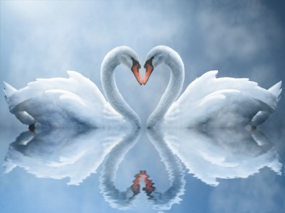 Screenshot of Swan Love Animated Wallpaper