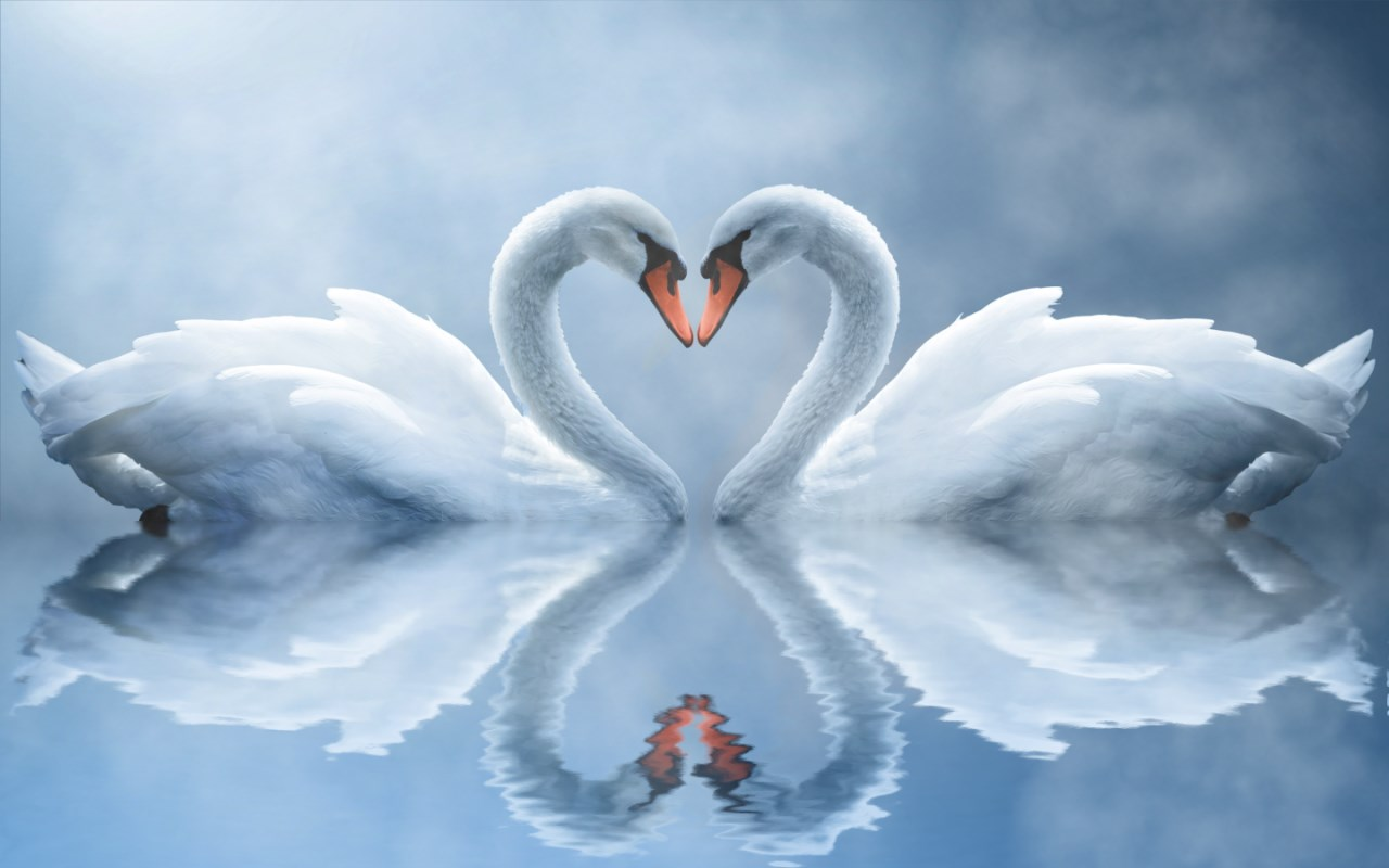 Swan Love - Free Swan Screensaver